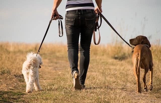 vrouw loopt met honden