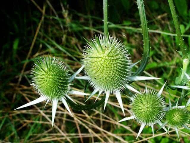 vlekkerige distel, plant